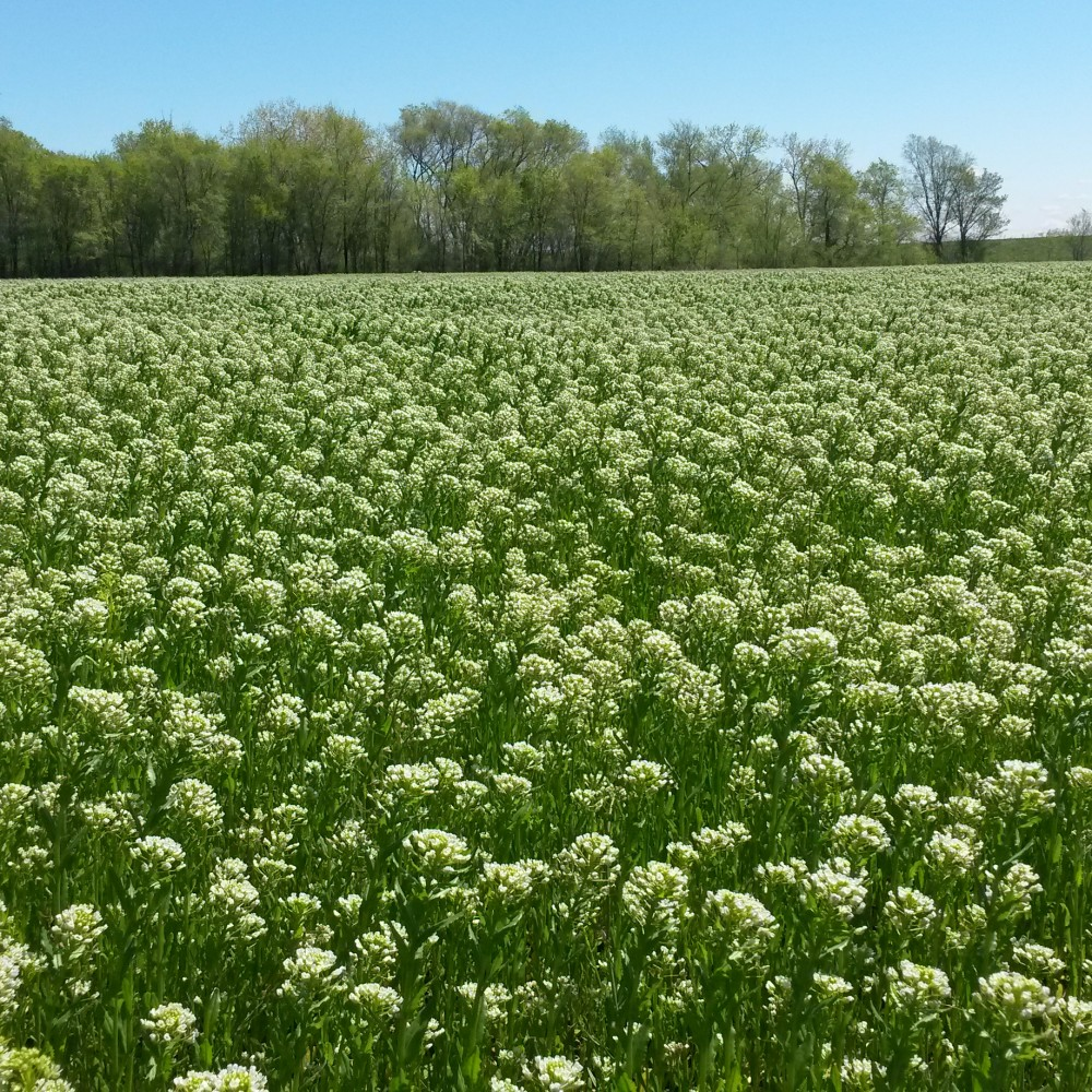 Green Lands Blue Waters Pennycress