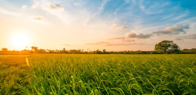 Green rice field with blue sky sunset