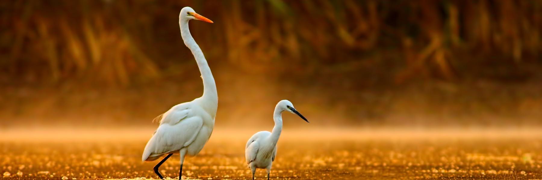 Birds in golden misty morning